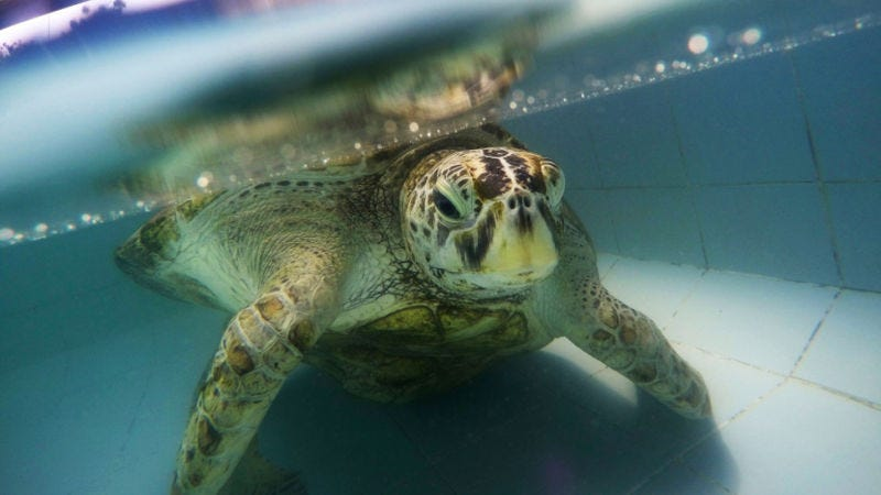 The Sea Turtle That Ate 915 Coins Did Not Die in Vain