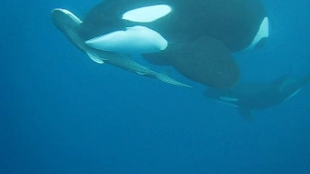 Watch A Pod of Orcas S...