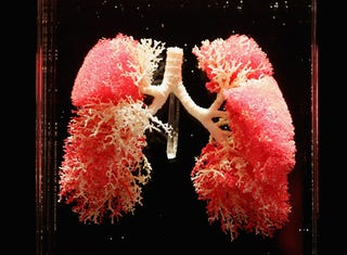 Illustration for article titled Breakthrough: The first functional, vat-grown lungs