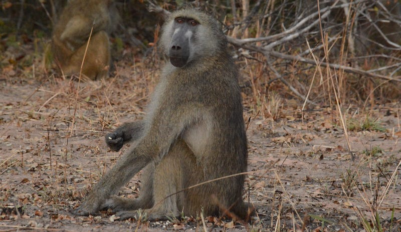 A hybrid baboon  at Kafue National Park in Zambia. These baboons inspired the fecal DNA sequencing work. Image: Kenneth Chiou