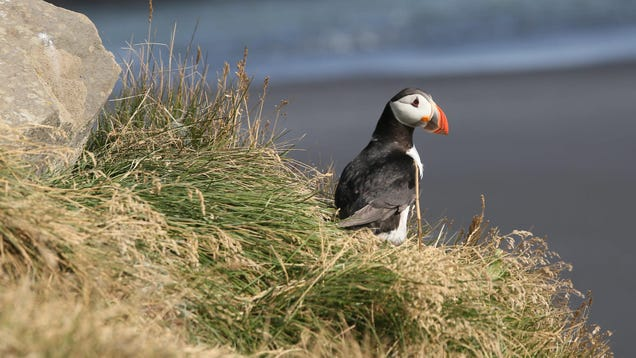 Puffins Seen Using Tools for the First Time