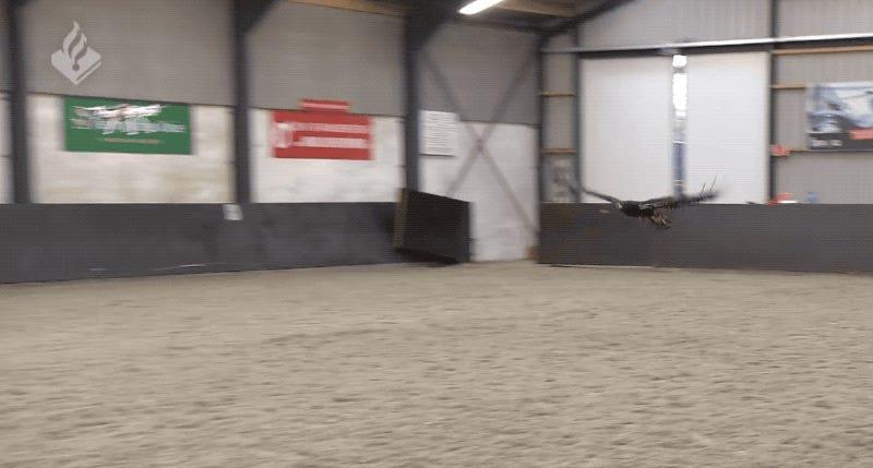 La policía de Países Bajos retira sus águilas entrenadas para derribar drones porque no las usaban (ni hacían caso)