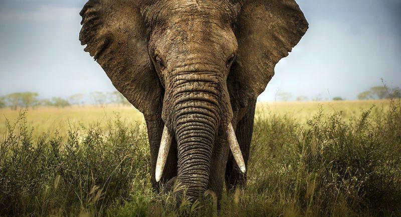 Descubren por qué los elefantes apenas sufren de cáncer