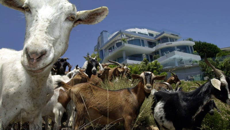 Illustration for article titled Breaking: Goats everywhere