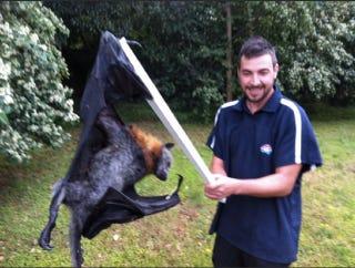 Illustration for article titled Giant Monster Bat Slain in Australia