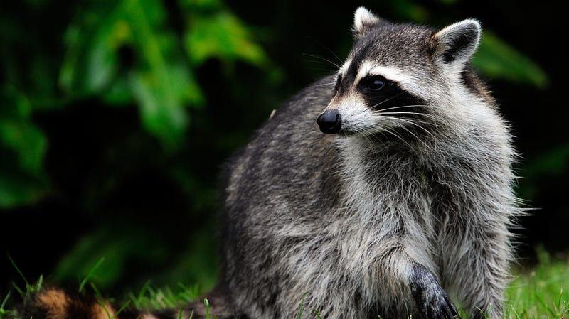Illustration for article titled A death-defying raccoon has climbed up a Minnesota skyscraper and into our hearts