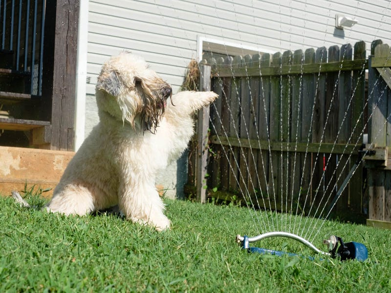 White dog playing with a sprinkler