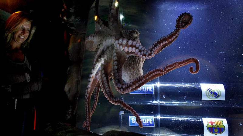 Octopus oracle predicting the outcome of a Spanish soccer match. Image via the AP.