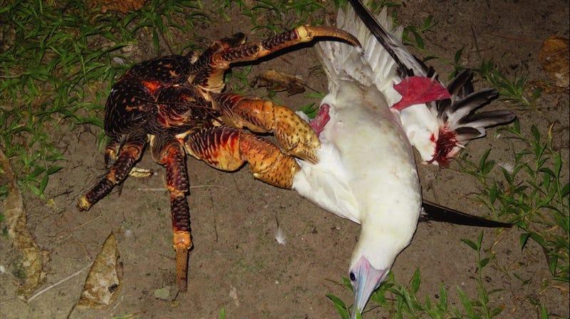 La brutal escena donde un cangrejo devora a un pájaro