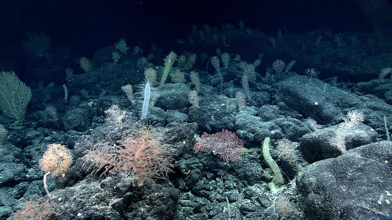 Coral and sponge gardens of the deep ocean are now being impacted by deep sea trawling.