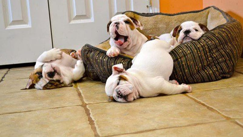 Illustration for article titled Get a Load of These Lazy-Ass Bulldog Puppies