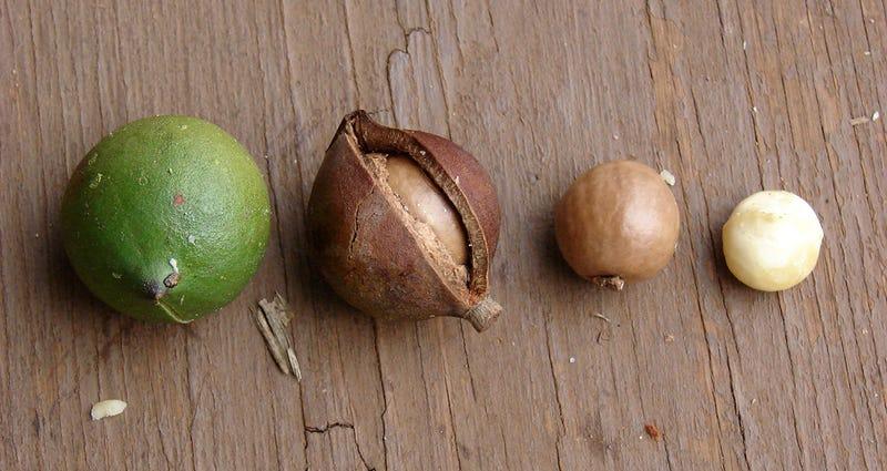 Diferentes fases de maduración de la nuez de Macadamia.