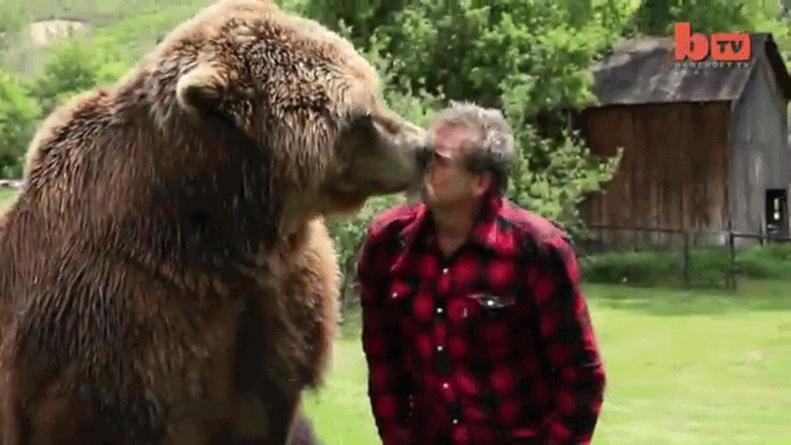 Fearless man plays with grizzly bears like you play with your dog