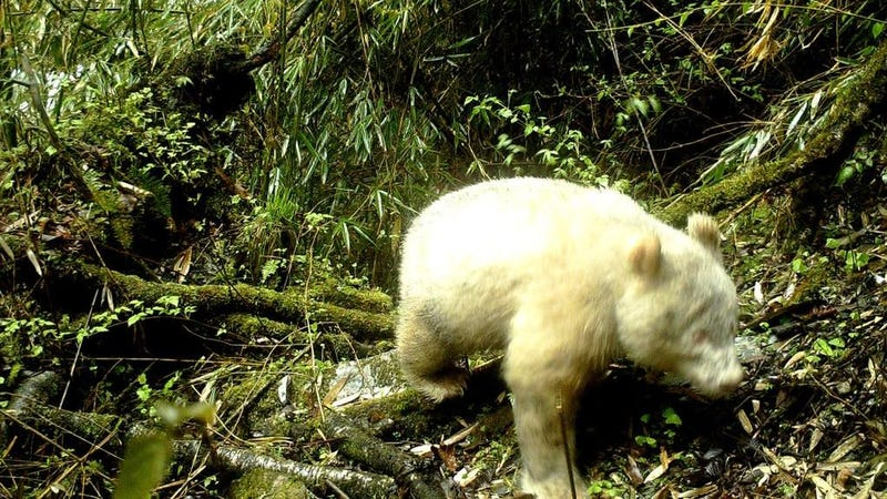 The first known sighting of an albino giant panda, estimated to be between one to two years of age.