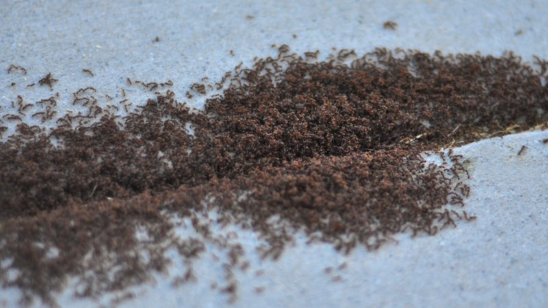 Illustration for article titled So Sweet! These 7,000 Ants Are Best Friends!