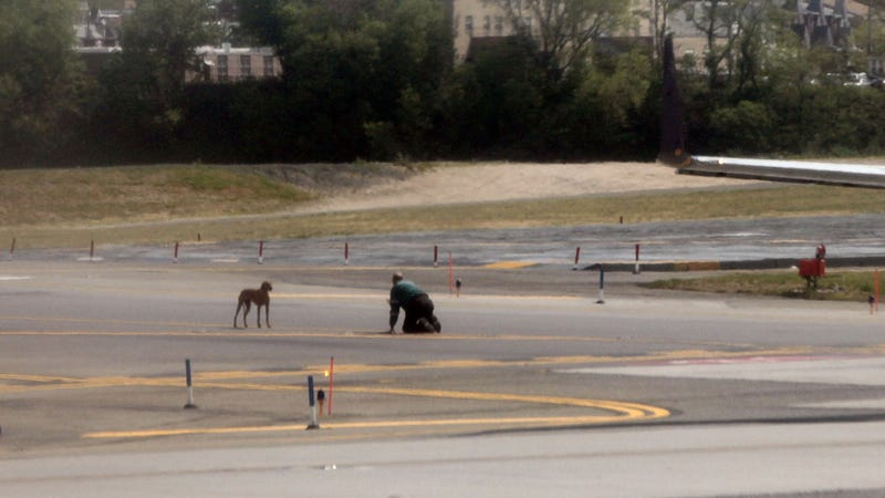 Illustration for article titled Escaped Puppy Runs on to Runway and Causes Cutest Airport Delay Ever