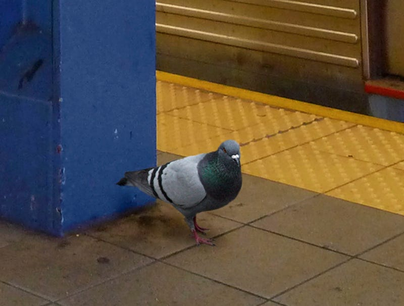 Illustration for article titled Pigeon That Flew Down Into Subway Going To Need All His Wits To Get Out Of This One