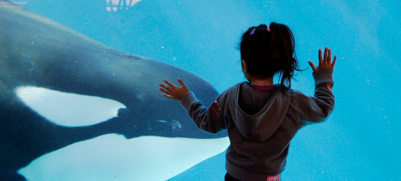 Illustration for article titled SeaWorld Will Finally Stop Using Killer Whales...After Just a Few More Years of Exploitation