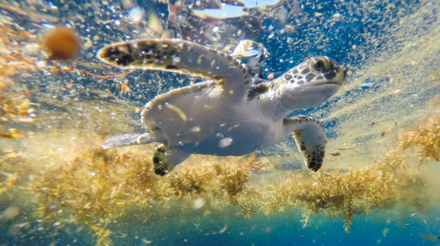 Researchers Discover Peaceful Turtle Playground in the Sargasso Sea