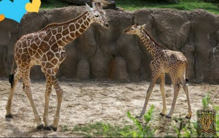 Illustration for article titled Beloved Baby Giraffe Dies in Freak Accident at Dallas Zoo