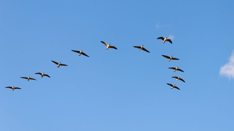 Illustration for article titled Flock Of Suicidal Geese Drinking Up The Courage To Down Jetliner