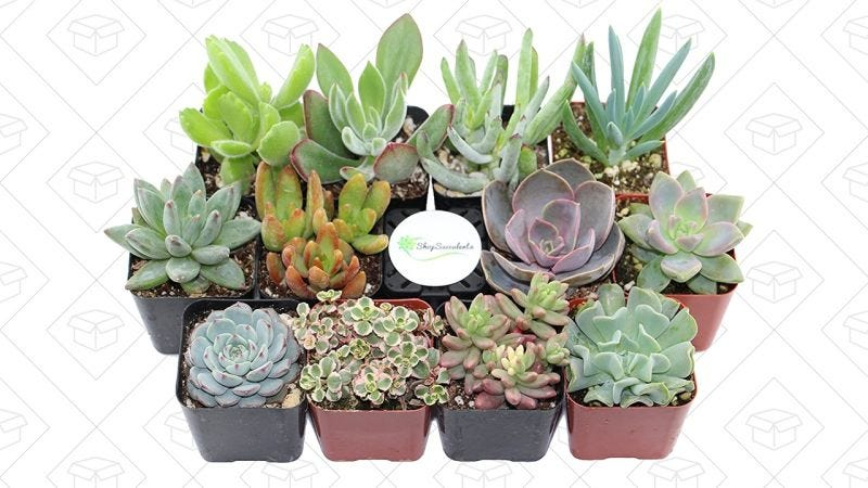 Shop Succulents Gold Box | Amazon
