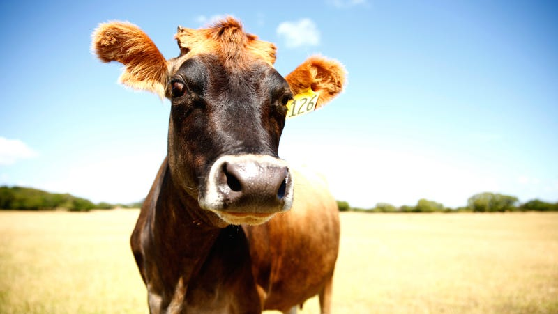 A cow, not THE cow. Image via Getty.