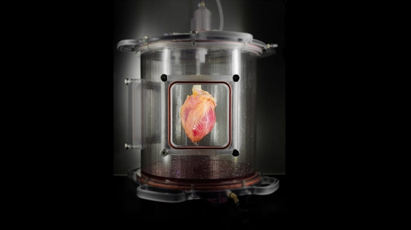 Illustration for article titled This Heart in a Jar Could Make Heart Transplants Safer