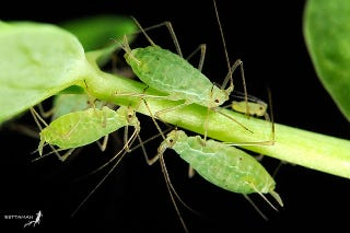 Illustration for article titled Aphids may be the only insects that can photosynthesize