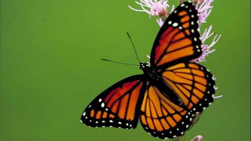 Cuidado de la mariposa y Preguntas frecuentes | Señora pintada mariposas