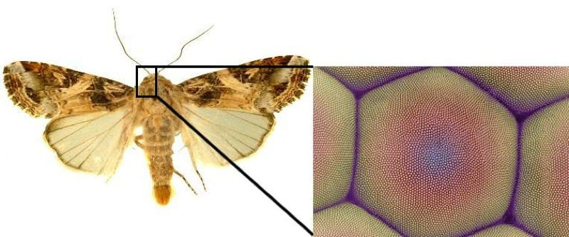Moth eyes are highly antireflective due to their surface nanostructure. Credit: Brookhaven National Laboratory.