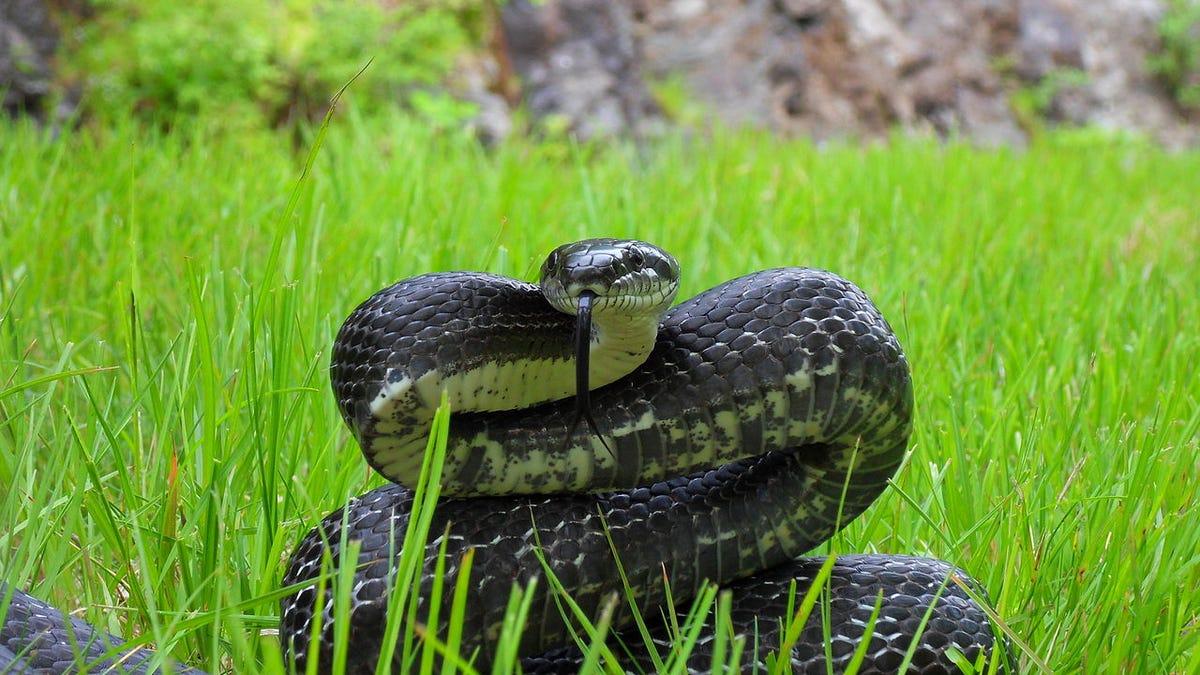 La extraordinaria anatomía de una serpiente pequeña cuando va a ...