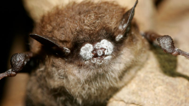 """Illustration for article titled Mysterious """"white nose syndrome"""" is demolishing bat populations in the Northeast"""