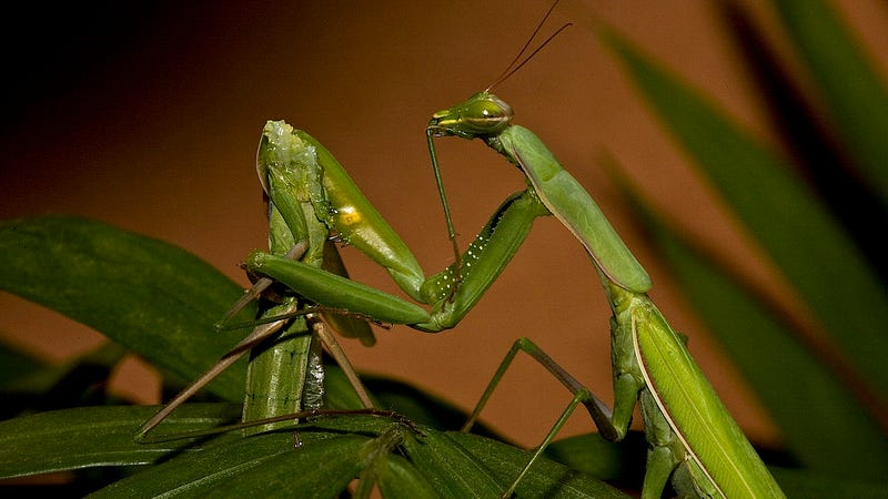 A female praying mantis with what's left of her partner. (Image: Oliver Koemmerling)