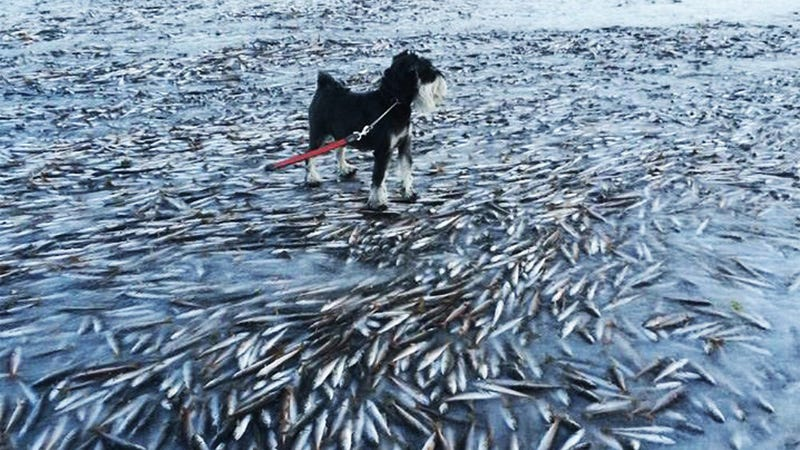 Illustration for article titled The sea froze so fast that it killed thousands of fish instantly