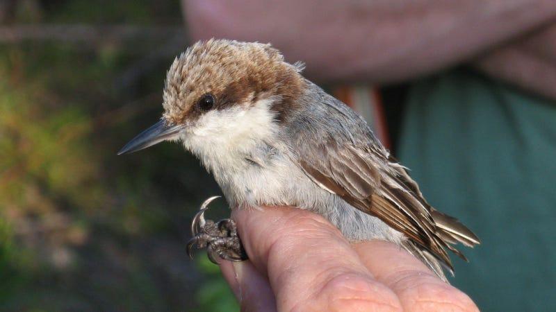 Illustration for article titled El huracán Dorian podría haber causado la extinción de este pájaro