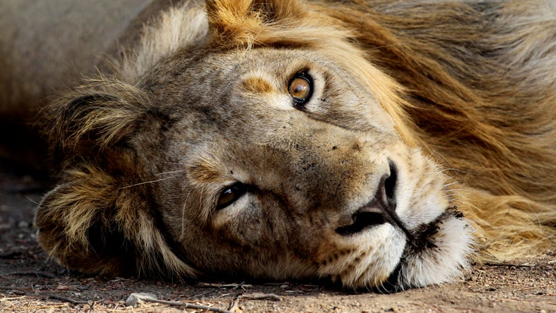 Kenyan official wants to separate 'demonic' male lions caught having gay sex