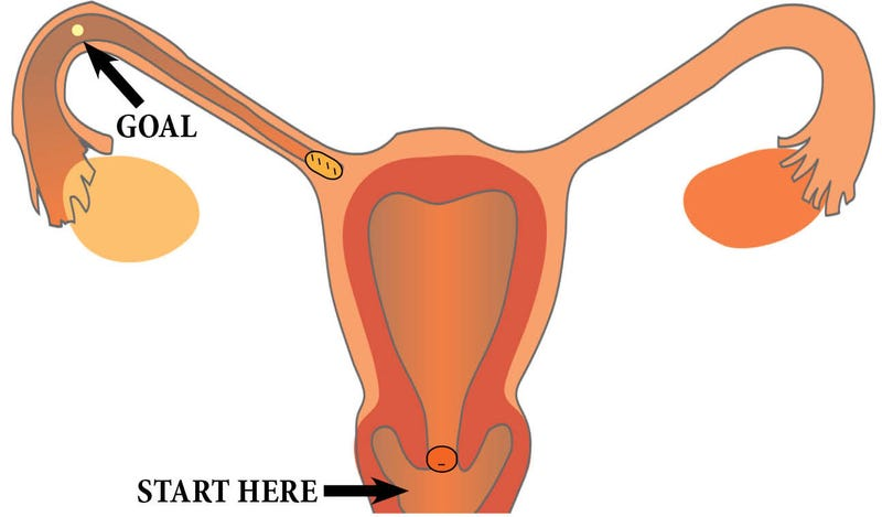 Illustration for article titled What Happens to Sperm Once They're Inside a Woman?