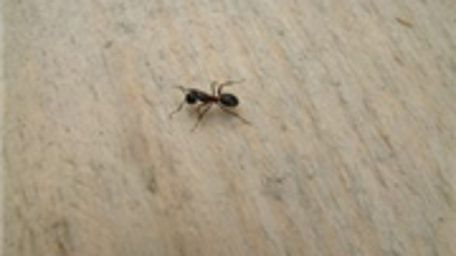Get Rid Of Ants With Baby Powder