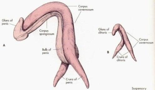 sisa veliki ravni penis