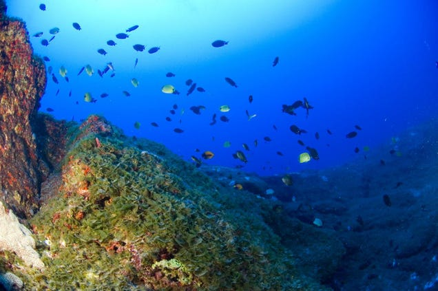 Algae beds like this one play a critical role in deep coral reef ecosystems.