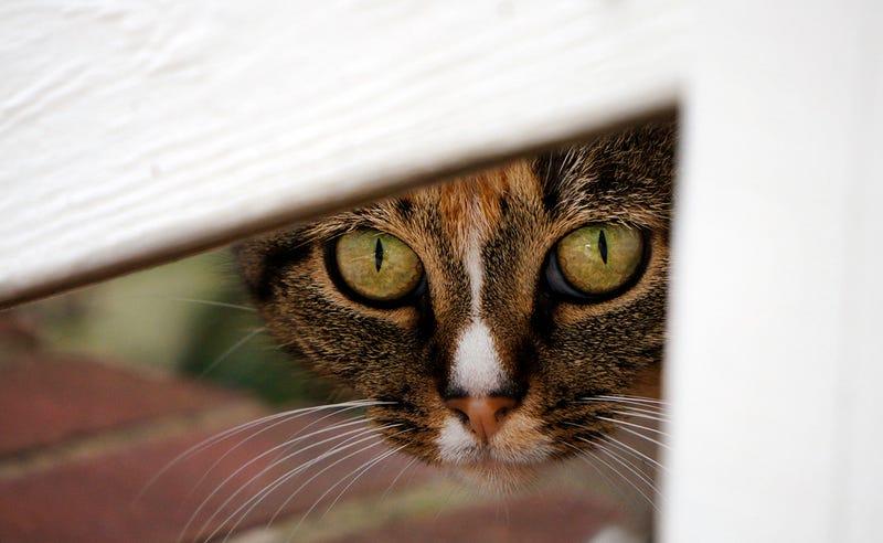 Los gatos matan tantos pájaros en Australia que el gobierno ha creado la primera zona de exclusión libre de felinos