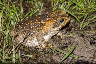 Illustration for article titled Putting Up Fences Could Wipe Out Australia's Plague Of Cane Toads
