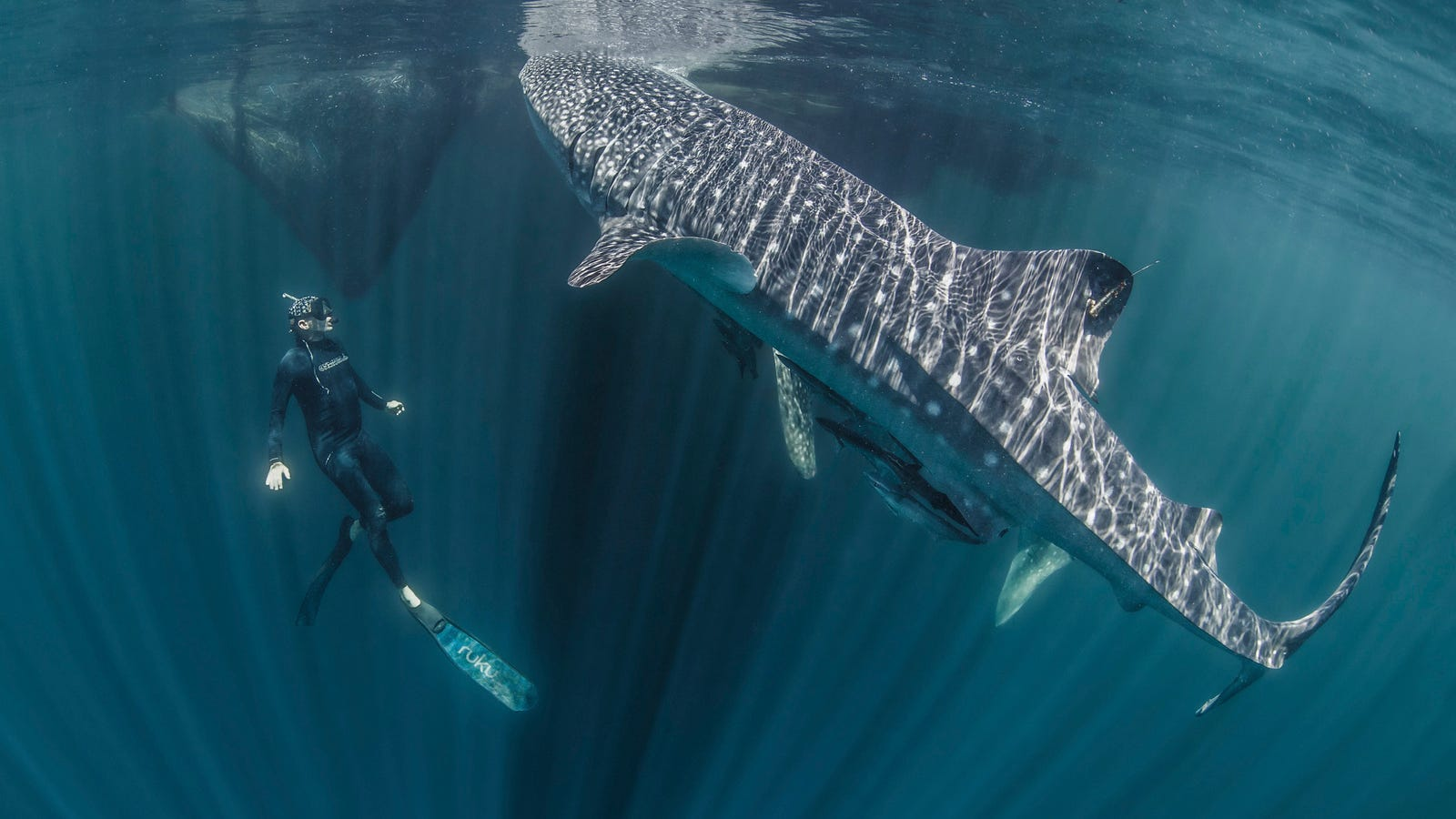 Whale Sharks Are Even Cooler Than We Realized