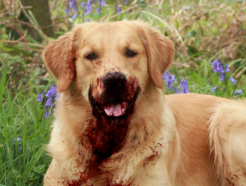 golden retriever mauls 5 in huge victory for pitbull apologists