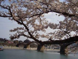 Kintaikyo Bridge, Iwakuni, Yamaguchi, Japan (Jennifer Neal)