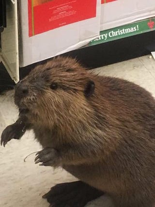 Illustration for article titled So, a beaver walks into a Dollar Store...