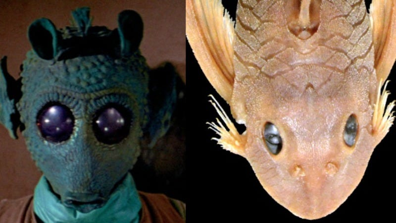 Illustration for article titled Scientists name catfish after Greedo, the bounty hunter from Star Wars