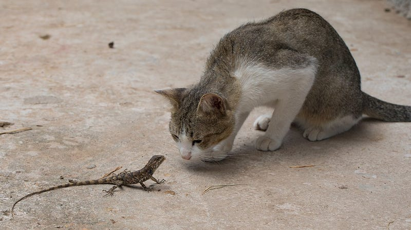 Illustration for article titled Feral Cats Are Slaughtering Australia's Reptiles