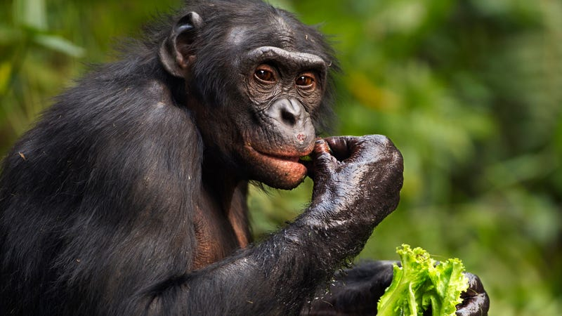 Illustration for article titled Beautiful Act Of Solidarity: When His Zookeeper Started Chemo Treatments, This Amazing Chimpanzee Pissed In His Own Mouth And Chewed On A Head Of Lettuce